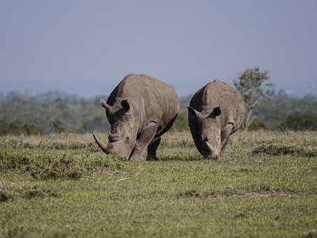 Rhino, Pair, Eat, Savannah, White Rhino