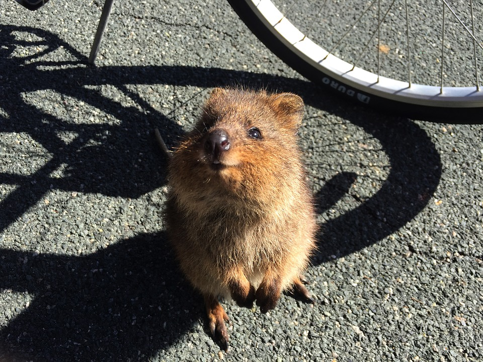 Quokka with a cheeky grin