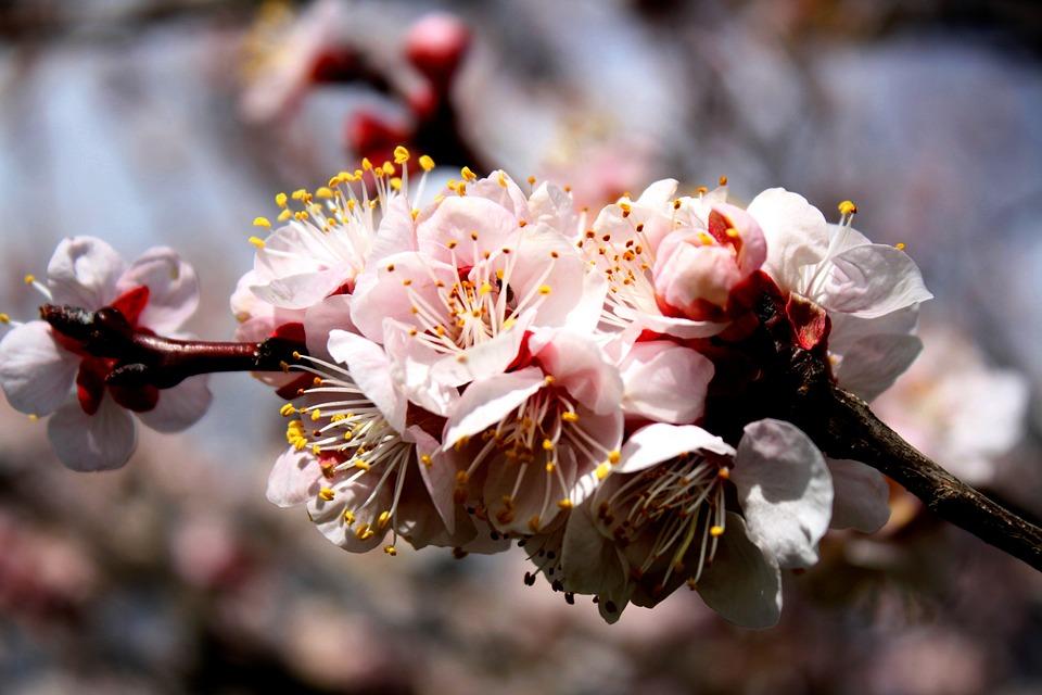 Hasil gambar untuk Bunga Aprikot
