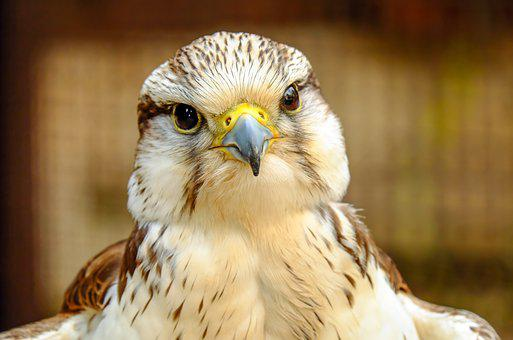 Falcon Images Pixabay Download Free Pictures