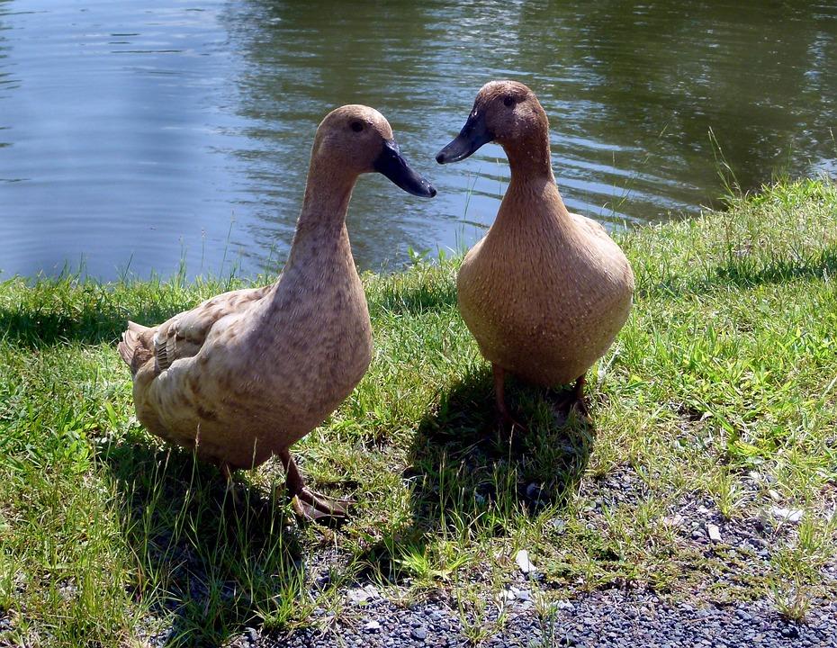 Duck Domestic Khaki Free Photo On Pixabay