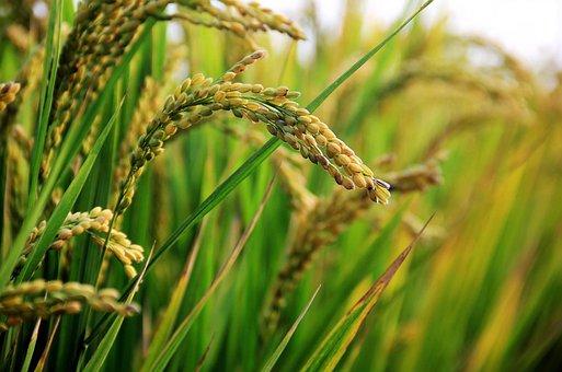 Учёные США и Китая смогли улучшить рис и картофель