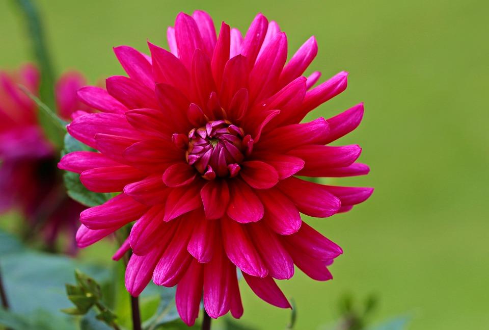 photo gratuite: dahlia, rouge, fleur, dahlia jardin - image