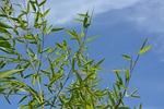 bamboo, au gratin