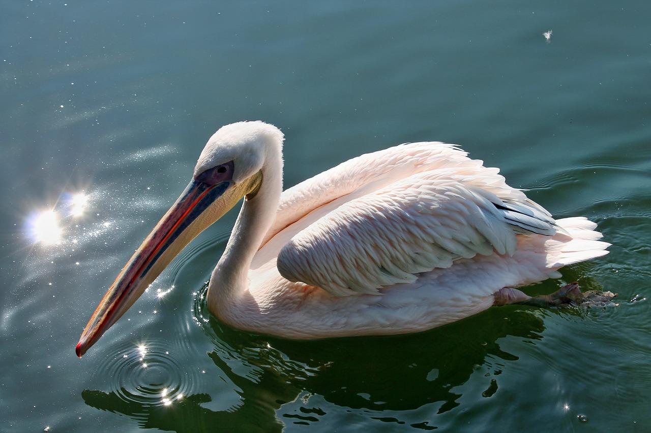 Все виды пеликанов картинки