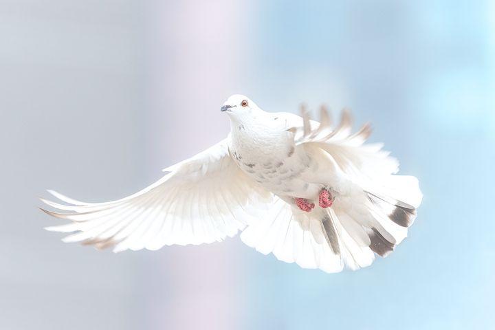 Due, Frihet, Bird, Natur, Dyr, Wing