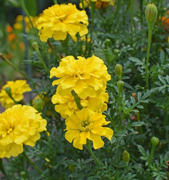 Yellow marigold flower blossom free photo on pixabay yellow marigold flower blossom bloom garden nature mightylinksfo