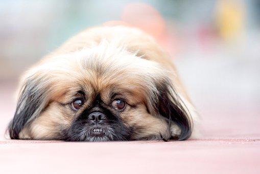 Pekinese, Dog, Bokeh, Animal, Small, Pet