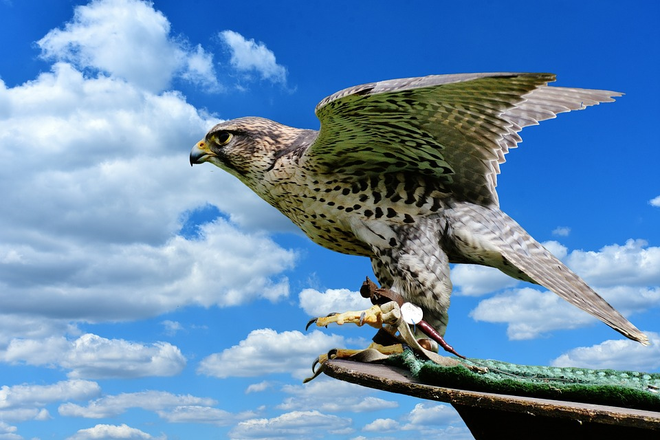 Falcon Raptor Wild Animal - Free photo on Pixabay