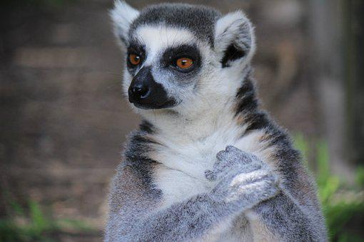 Lemur, Lemurs, Pet, Animal, Animals
