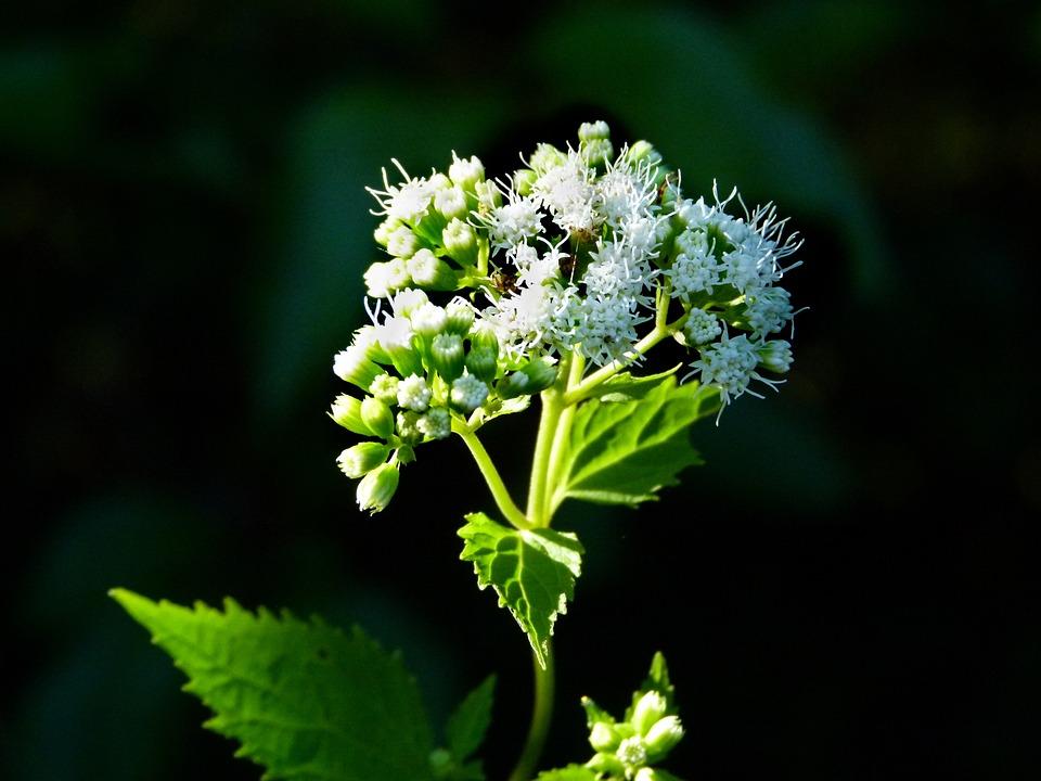 White Snakeroot Plant Weed Free Photo On Pixabay
