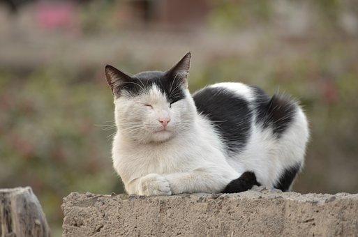 猫, ホワイト, ブラック, ペット, ネコ科, 子猫, 動物の家, のんびり