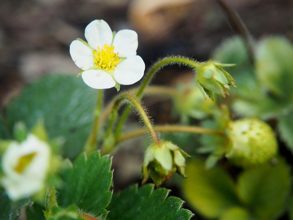 Fleur De Fraisier Jardin Photo Gratuite Sur Pixabay