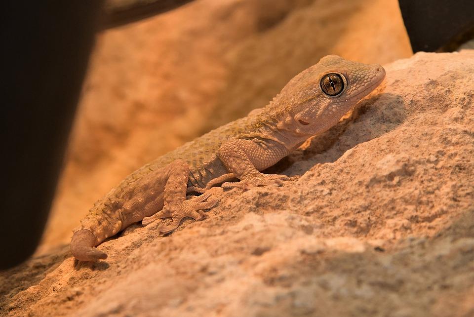 Hagedis, Reptielen, Macro, Gekko, Spanje, Dierlijke