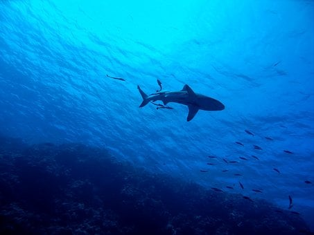 Shark, Great Barrier Reef, Underwater