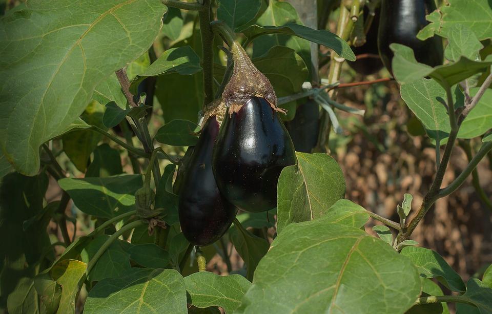 Giardino, Melanzana, Vegetale, Orto