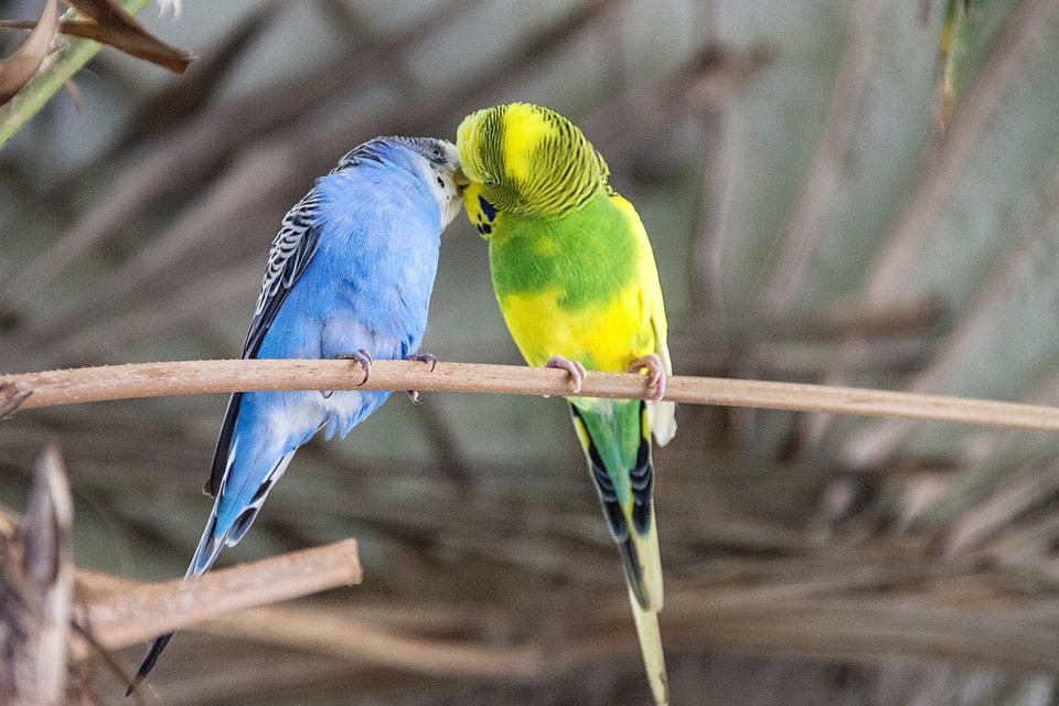 バッジー, 鳥, カラフル, インコ, 動物の世界, 羽, ビル, イエローグリーン, 青, かわいい