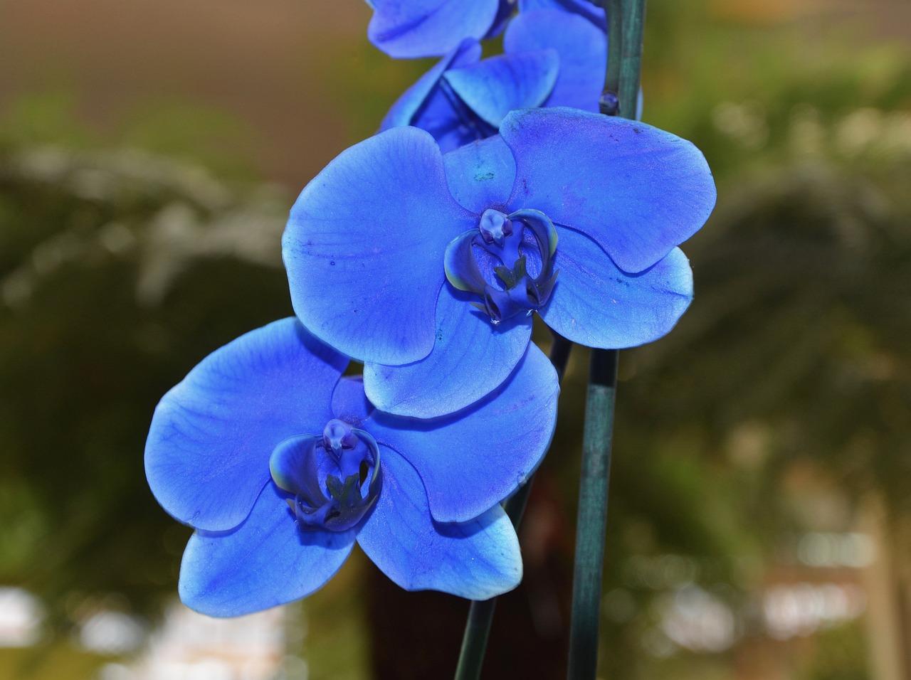 Голубая орхидея фото цветок