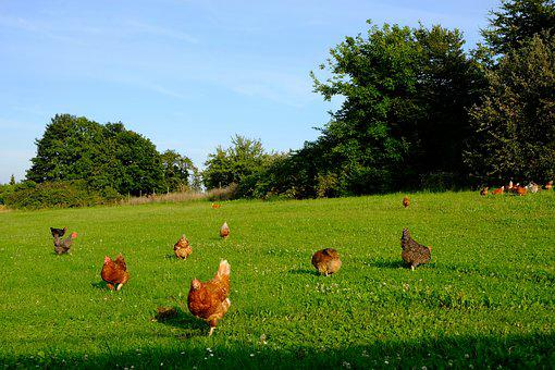 Chickens, Poultry, Animal, Happy Hens