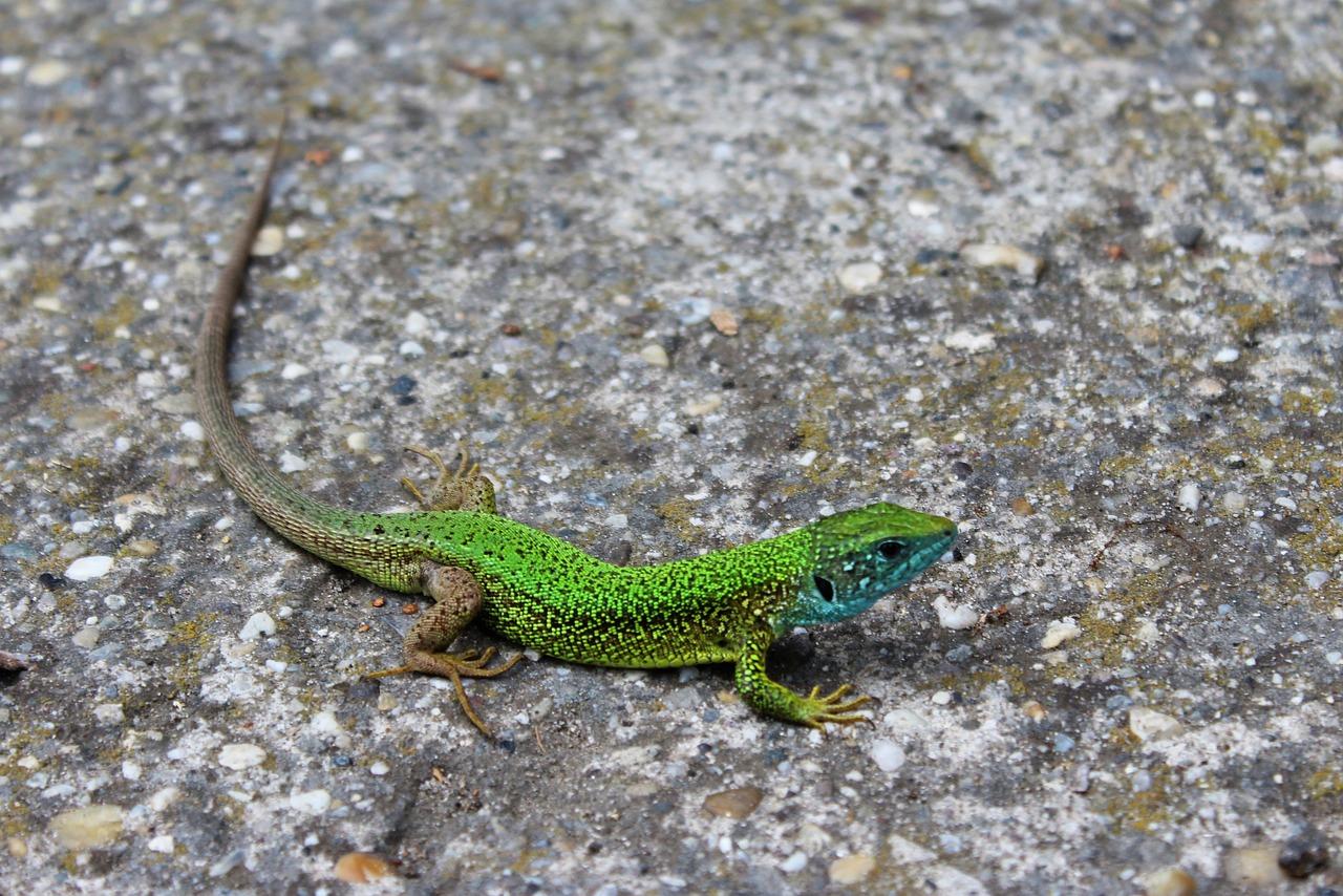 Картинки lizard