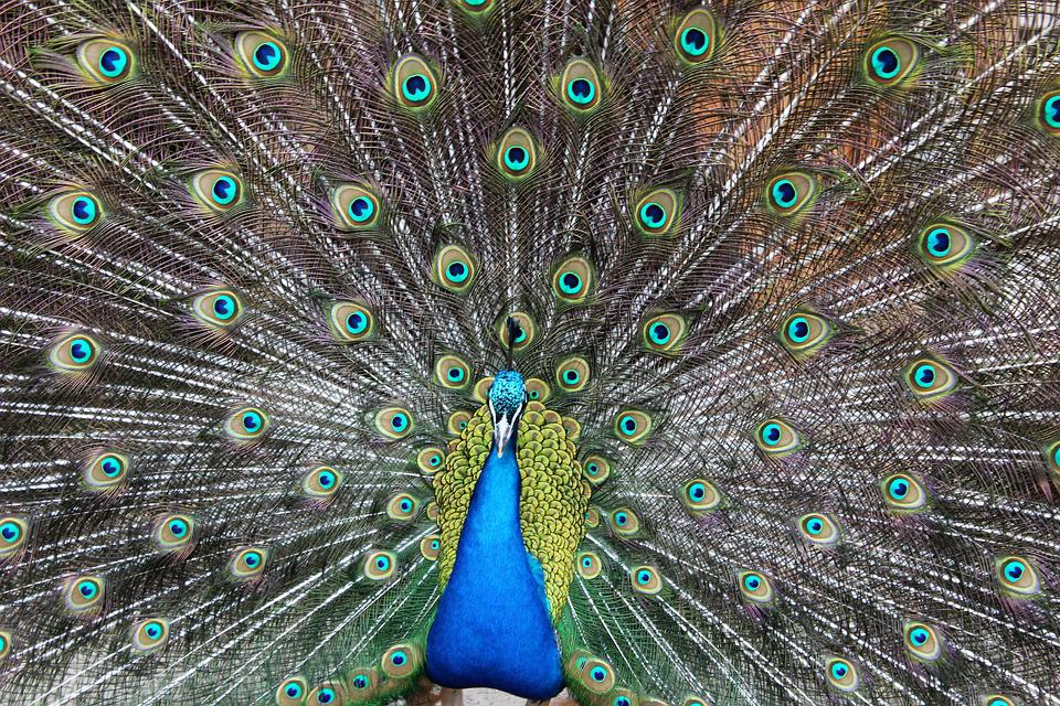 peacock color blue free photo on pixabay
