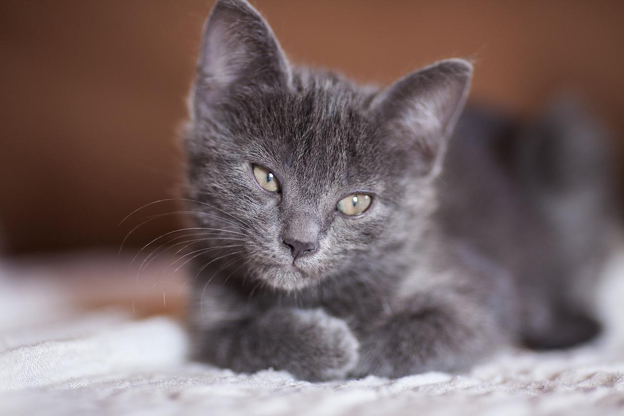Кошечка серая картинка