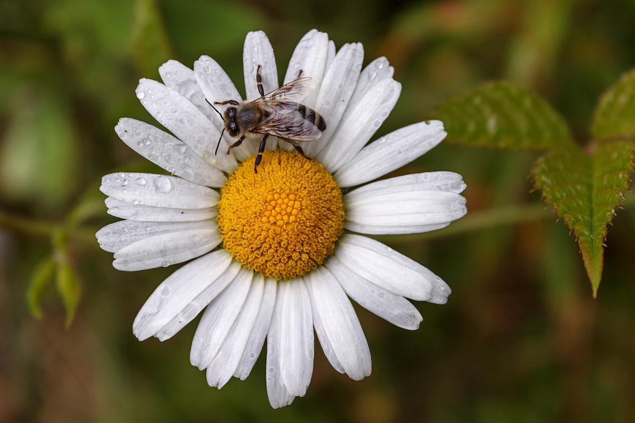Картинки ромашка с пчелкой