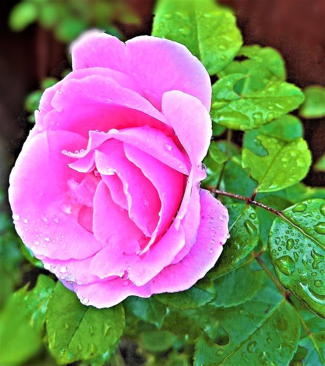 Gül Funda Tek çiçek Açık Pixabayde ücretsiz Fotoğraf
