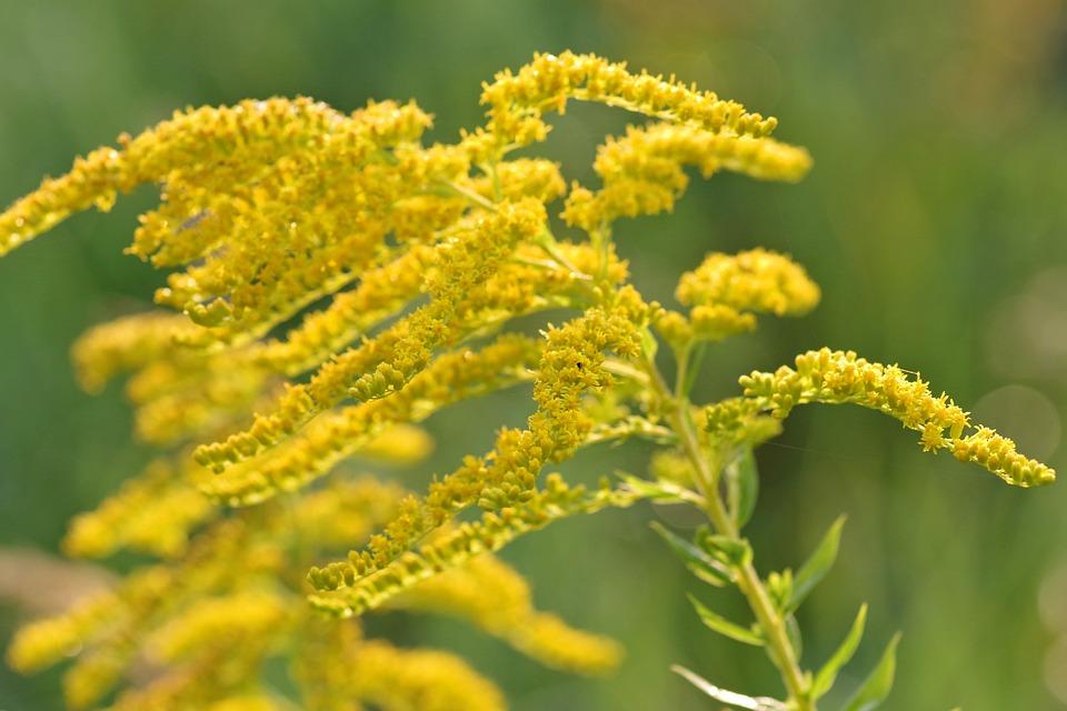 Goldenrod Yellow Flowers Free Photo On Pixabay