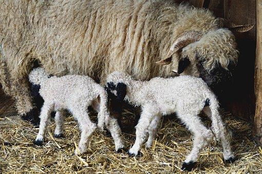 Black Nosed Sheep, Sheep