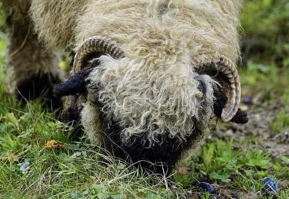 Schwarznasenschaf Schaf Kostenloses Foto Auf Pixabay