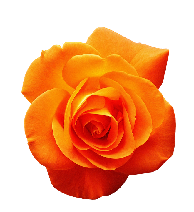 orange flower png images galleries with a bite. Black Bedroom Furniture Sets. Home Design Ideas