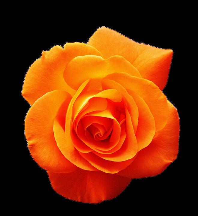 Rose Orange Blüte Kostenloses Foto Auf Pixabay