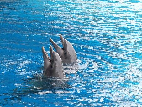Dolphin, Dolphins, Cetacean