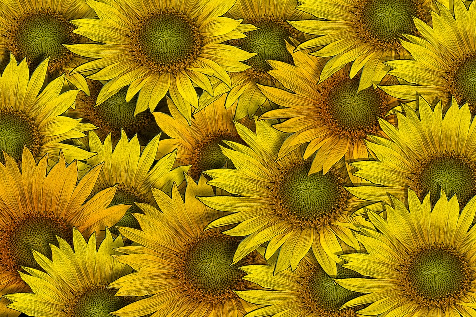 Sunflower Flower Flowers Background