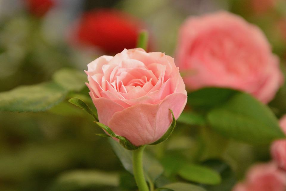 Fleur Rose Couleur Pâle - Photo gratuite sur Pixabay