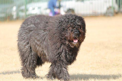 Dog, Belgium Bouvier, Fur, Breed, Large