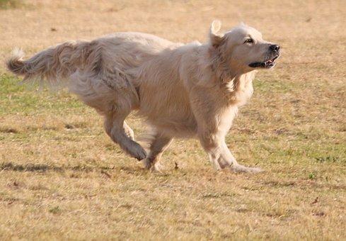 Dog, Golden Retriever, Run, Long Hair