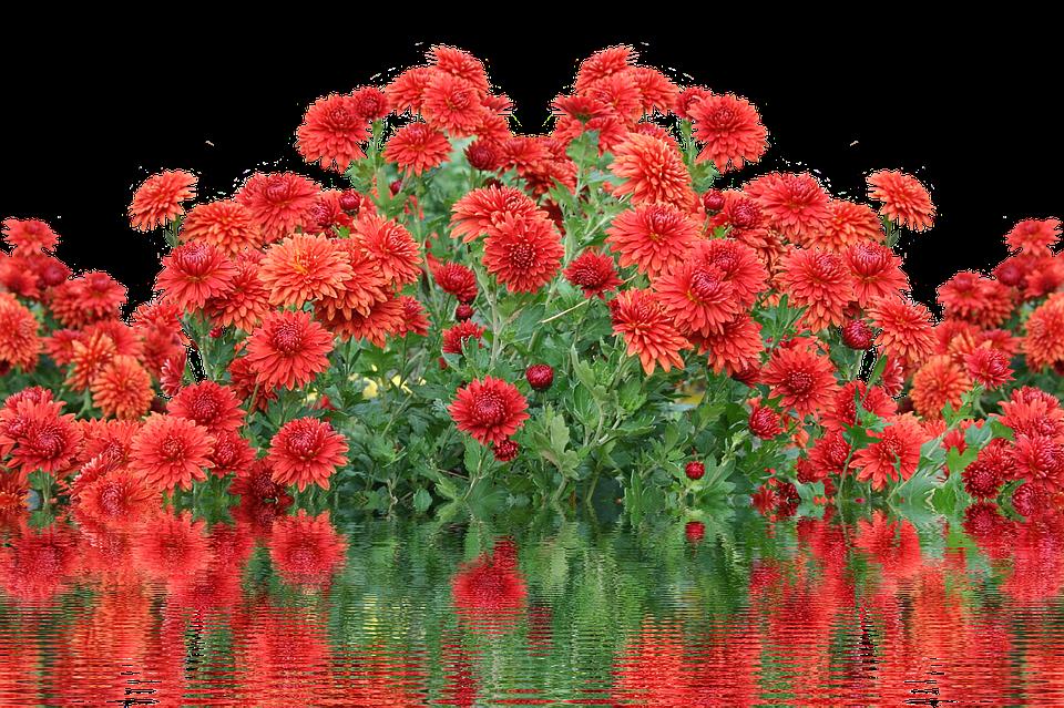 Herbst Dahlien Herbstblumen Kostenloses Foto Auf Pixabay