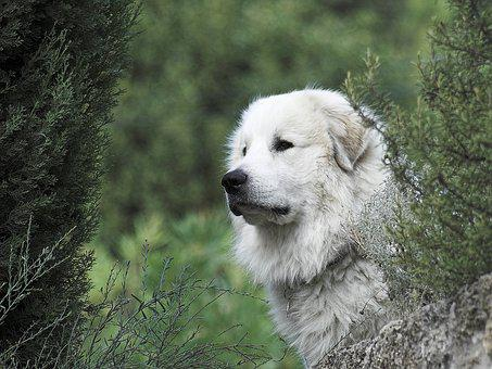 Pyrenean Mountain Dog, Head, Male
