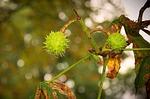 chestnut, fruit, immature