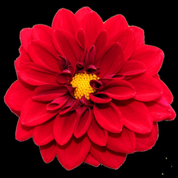 photo gratuite: dahlia rouge, fleur, fermer - image gratuite sur