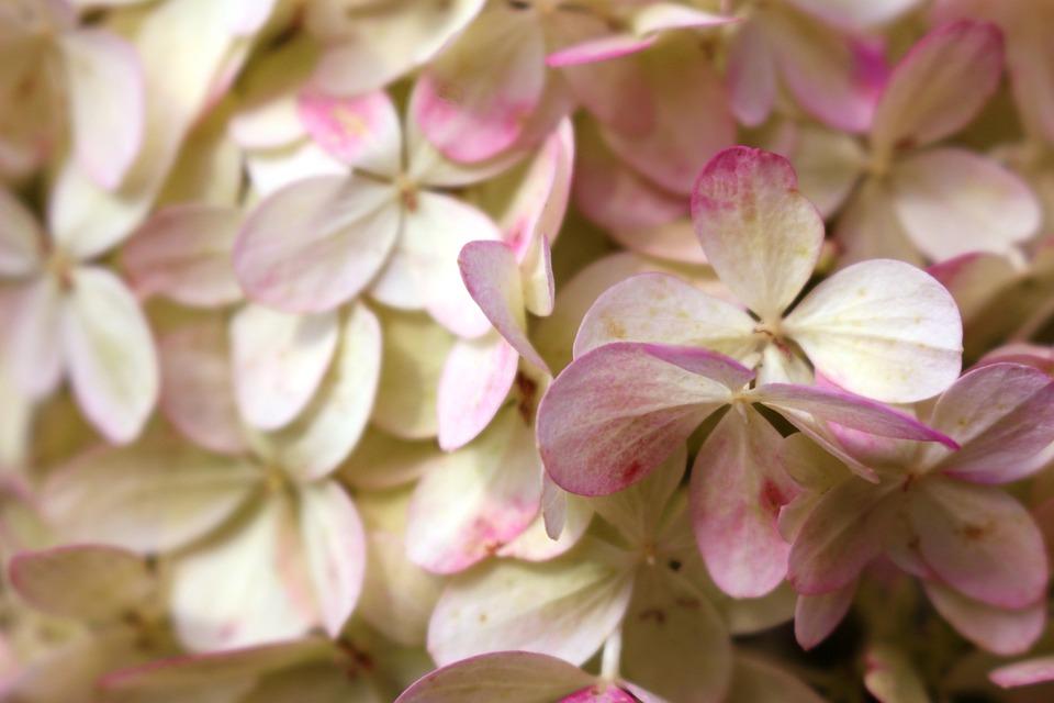 White pink flowers romantic dusky free photo on pixabay white pink flowers romantic dusky pink mightylinksfo