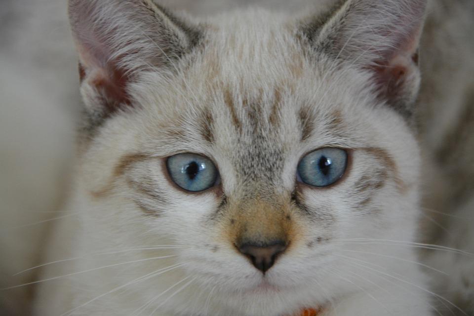 Gatto Gattino Occhi Blu Guarda Foto Gratis Su Pixabay