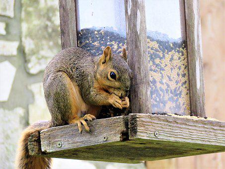 Squirrel, Wildlife, Brown
