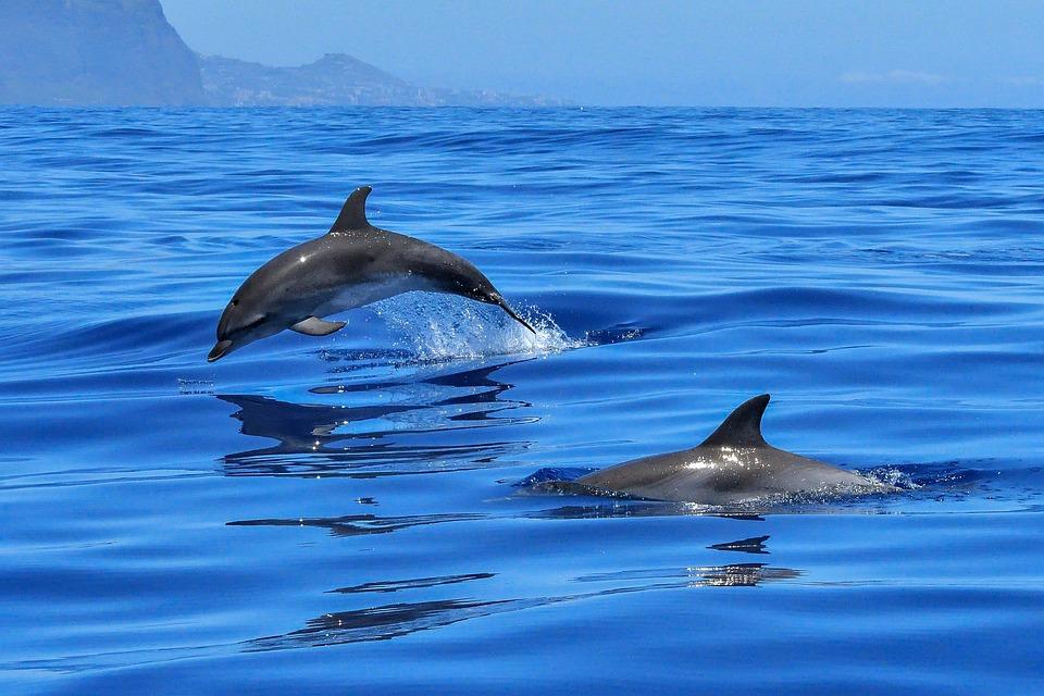Delfín, Mar, Mamíferos Marinos, Meeresbewohner
