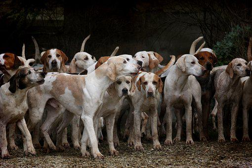 Dog, Herd, Canine, Animal, Pet, Hounds