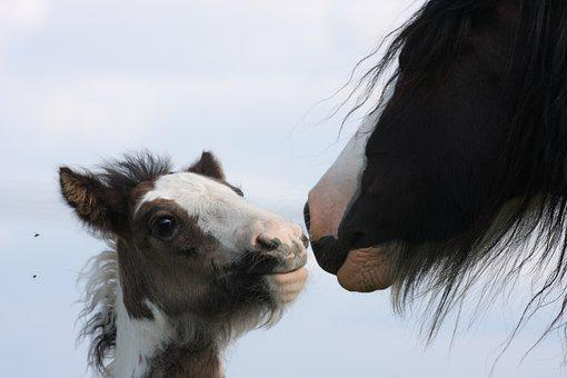 Foal, Horse, Gypsy, Young, Equine