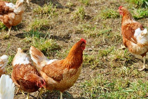 Chicken, Hen, Poultry, Pinnate