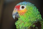 parrot, ara, birds